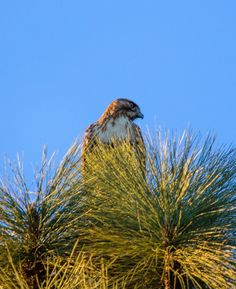 Just before Christmas this neighborhood hawk, whom I previously seen get mobbed by the local crows, took up a brief residence at the top of a pine tree in our front yard. Caught this with my 100-400mm Canon lens and the 60D