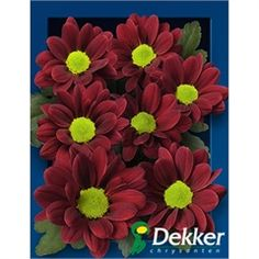 Chrysanthemums Santini Adora is a red variety of miniature santini chrysanthemums. All santini chrysanths are multi-headed, 55cm tall & wholesaled in 25 stem wraps. A superb flower with endless possibilities in floristry.