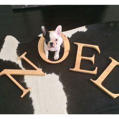 Noel Noel, French Bulldog Puppy