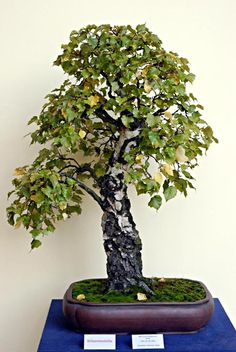 Bonsai Jörg Frahnow Birch tree