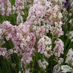 Buy Lavandula angustifolia Rosea (Lavender) online from Jacksons Nurseries