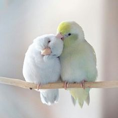 Dreamy Photos Capture the Storybook Love Between Pastel Parrotlet Birds - Animals Cute Birds, Pretty Birds, Beautiful Birds, Animals Beautiful, Pretty Animals, Funny Birds, Cute Baby Animals, Animals And Pets, Funny Animals