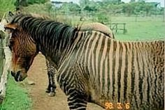 Buckskin Zorse with unusually poor conformation.  Sire is a Grevy zebra.