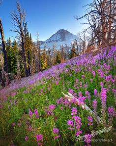 A Purple Pillow of Posies, Mount Hood National Forest.  Photo: Gary Randall, via Flickr