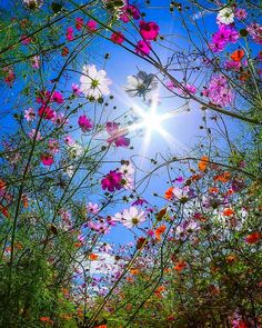 Cosmos and sunshine 💛 - Blumenwunder - Flowers Amazing Flowers, Wild Flowers, Beautiful Flowers, Spring Flowers, Flowers Pics, Cosmos Flowers, Flower Wallpaper, Nature Wallpaper, Beautiful Landscapes