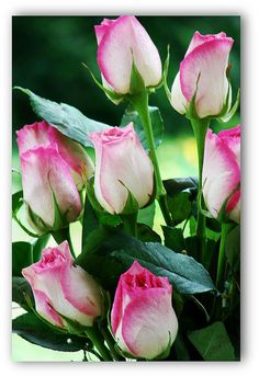 Pink tip roses