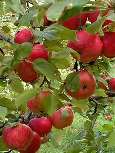 Many apples to eat