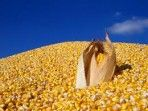 $5.50-per-bushel corn possible if yield normalizes in 2013 - A return to more normal U.S. corn yields in 2013 could send new-crop prices spiraling downward, but persistent drought in some of the nation's top corn-producing states could have the opposite effect, says Purdue Extension agricultural economist Chris Hurt.