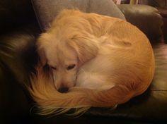 My little  darling Tassen. Tired..