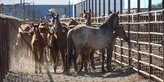 National Coalition Blasts BLM for Plans to Destroy Protected Idaho Wild Horse Herd | American Wild Horse Preservation Campaign