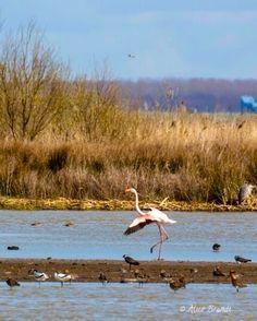 Flamingo's in Durgerdam