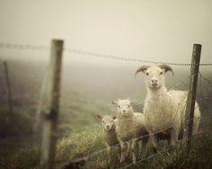 Sheep in Fog, Animal Photography by EyePoetryPhotography on Etsy