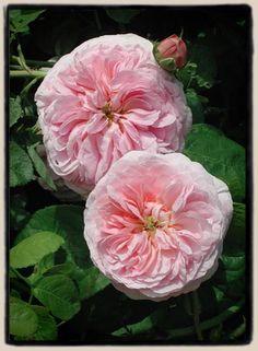 'Allegra' rose bred by Paul Barden 2003.