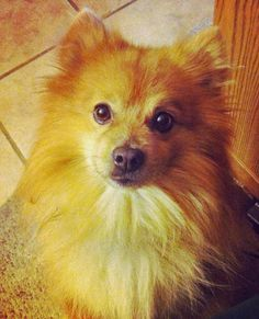 This one looks just like my Pomeranian Papi. RIP Papi 4/12/13 you will be missed every day. All dogs go to heaven.