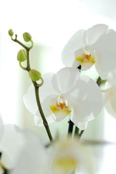 #orchidée #phalaenopsis blanc #fleurs #mariages #francefleurs