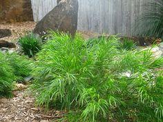 Gondwana Nursery: Acacia cognata Mini Cog - looking fabulous in a beautifully designed native dry creek garden Australian Garden Design, Australian Native Garden, Small Shrubs, Dry Creek, Cogs, Pet Safe, Plant Design, Native Plants, Acacia