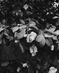 camellias | @jessicacomingre.