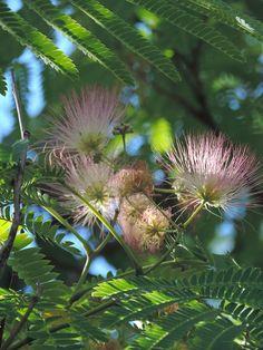 Acacia de constantinopla. http://www.elhogarnatural.com/Arboles.htm