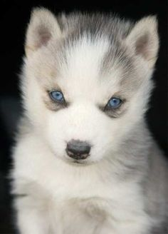 "VERY PRETTY ""WOLF GREY"" HUSKY PUP W/BLUE EYES, ADORABLE..."