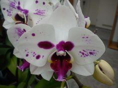 fehér lila orhidea