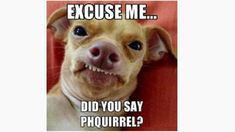 """Here are the 15 best memes featuring the adorable, lisping Tuna the Dog, or, as the internet calls him, """"Phteven. Funny Animal Pictures, Cute Funny Animals, Funny Cute, Funny Dogs, Cute Dogs, Hilarious, Funny Dog Sayings, Funny Chihuahua, Baby Chihuahua"""