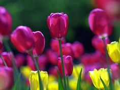 Puple Spring Tulips - Flowers And Plants Wallpaper Free Spring Wallpaper, Spring Flowers Wallpaper, Tulips Flowers, Flower Wallpaper, Black Tulips, Purple Tulips, Purple Yellow, Pink Color, Gerbera
