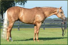 24 Karat Chip, one of the most beautiful Quarter Horses I've ever seen! Quarter Horses, American Quarter Horse, Cute Horses, Pretty Horses, Palomino, Western Pleasure Horses, Most Beautiful Horses, Beautiful Things, Horse Show Clothes