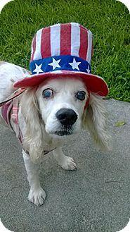 Philadelphia, PA - Cocker Spaniel. Meet Baby 2 (Owner Surrender), a dog for adoption. http://www.adoptapet.com/pet/12895171-philadelphia-pennsylvania-cocker-spaniel
