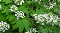 oak-leaf hydrangea (Hydrangea quercifolia) Shade but can tolerate sunnier sites. Does not require as much water, good drainage. Dwarf Hydrangea, Hydrangea Varieties, Oak Leaf Hydrangea, Shade Garden, Garden Plants, Dry Shade Plants, Hydrangea Quercifolia, Plant Guide, Cream Flowers