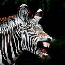 That's one smily zebra.