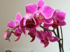 A Feng Shui virágszimbólumai Feng Shui, Rose, Flowers, Plants, Pink, Shop, Tips, Roses, Florals