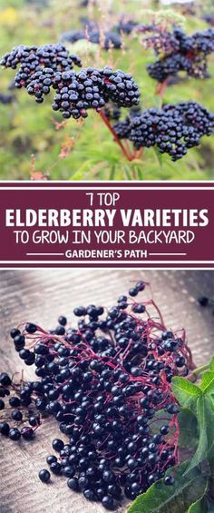 Have you heard about elderberries? These tall shrubs make an incredible addition to the landscape, with beautiful flowers and tasty fruit. Learn which plants are best suited for your growing area – we list the top choices for gardeners to help you decide. Elderberry Varieties, Elderberry Plant, Elderberry Benefits, Elderberry Flower, Garden Shrubs, Landscaping Plants, Garden Plants, Landscaping Ideas, Landscaping Software