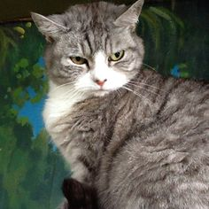 Misty the Silver Tabby Exotic Shorthair #cat