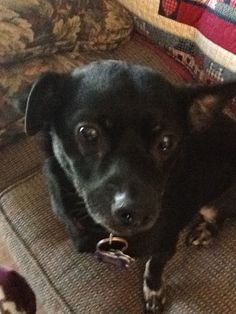 Buster, chi-dachshund cross, tossed out on highway, came to our house, lucky us!
