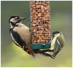 A young Great Spotted Woodpecker and a young great Tit sharing food on a peanut feeder