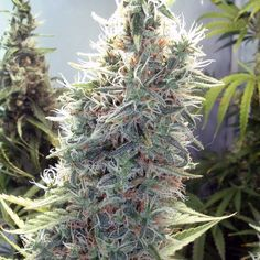 The holy grail of the cannabis strains. #drug #marijuana_strain