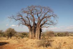 Baobab Tree by Luis Sellmeyer, via 500px. Tanzania