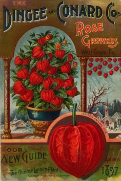 Dingee and Conard Co. featured the Chinese Lantern plant in 1897.