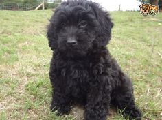 We have lovely litter of Black, toy Cockapoo Puppies. The puppies Mum is my Chocolate Cocker Spaniel and their Dad is my Toy Apricot Poodle. Black Cockapoo, Cockapoo Puppies, Labradoodle, Dogs And Puppies, Doggies, Cavapoo, Yorkie, Cute Funny Animals, Cute Dogs