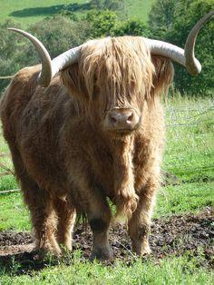 Hamish, Highland Cow, Kilmahog, Scotland