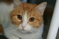 Olivia is an adoptable Domestic Short Hair - Orange And White Cat in Frankfort, KY. Olivia loves attention and will even give kisses. She is an orange and white tabby. Foster or adopt today - Transpor...