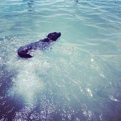 Hazel - Bordercollie Labrador - swimming at the Cot D' Azure.  #dog #cotdazure #dogswimming #summer #water #beach #labrador #bodercollie