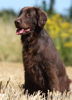 What is a Flat-Coated Retriever?  Didn't find the answer on this blog, but love this picture
