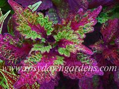 Coleus 'Elfers' (large upright) Tall and twisty, this richly-colored coleus is a magical swirl of deep purple, green, and magenta. You will want to try this one - it is a real eye-catche Shade Plants, Cool Plants, Beautiful Gardens, Beautiful Flowers, Trees To Plant, Plant Leaves, Greenhouse Plants, Plant Catalogs, Foliage Plants