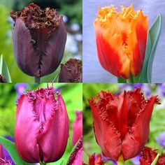 Tulip Fringed Collection - 40 flower bulbs buy online order now