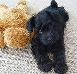 a schnoodle puppy,  want!