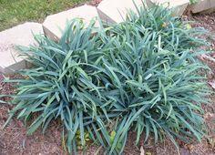 Using Georgia Native Plants: Native Georgia sedge - Carex laxiculmis 'Bunny Blue'