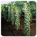 Organic Igor F1 Hybrid Brussels Sprouts - No mad scientists here, Igor is one of the best varieties found in our trials. Tall and straight, reaching 3', Igor is slightly earlier and has a more uniform bud maturity than Nautic, with no pruning necessary. Sweet, tender buds are tight and bottom sprouts hold well while top sprouts are filling out. A great selection for the farmers' market when selling on the stalk. A cold-hardy variety that will hold well into October in northern climates