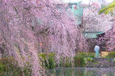 https://flic.kr/p/uGnuBV | Japan Spring | @ Mishimataisha, Shizuoka, Japan