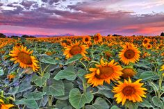 images of pink sunflowers - Google Search